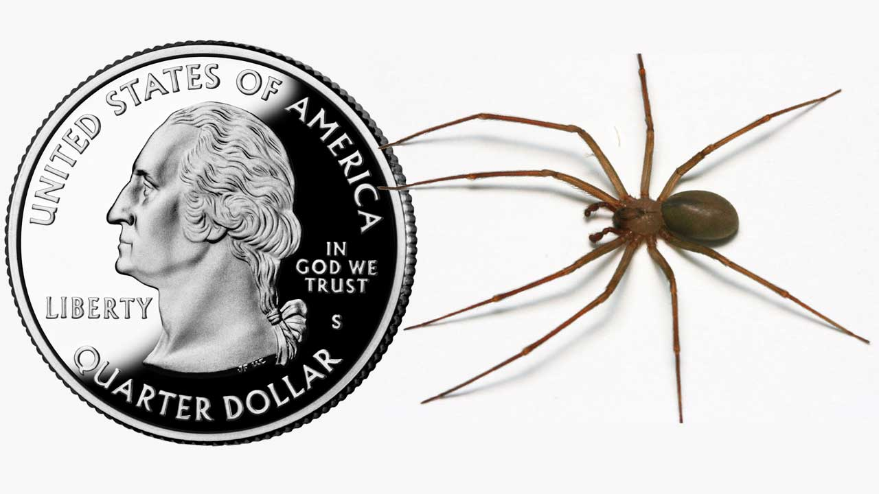 HOW LARGE IS A BROWN RECLUSE? - Bates Exterminating