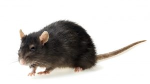 Rodent Control – A true story